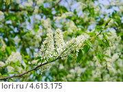 Купить «Цветы черёмухи (Prunus padus)», фото № 4613175, снято 11 мая 2013 г. (c) Алёшина Оксана / Фотобанк Лори