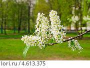 Купить «Ветка черемухи (Prunus padus)», фото № 4613375, снято 11 мая 2013 г. (c) Алёшина Оксана / Фотобанк Лори