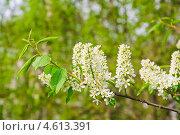 Купить «Цветы черёмухи (Prunus padus)», фото № 4613391, снято 11 мая 2013 г. (c) Алёшина Оксана / Фотобанк Лори