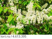 Купить «Черёмуха (Prunus padus) цветёт», фото № 4613395, снято 11 мая 2013 г. (c) Алёшина Оксана / Фотобанк Лори