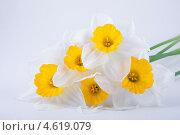 Купить «Весенние нарциссы», фото № 4619079, снято 12 мая 2013 г. (c) Литвяк Игорь / Фотобанк Лори