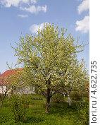 Купить «Груша цветущая в весеннем саду», эксклюзивное фото № 4622735, снято 12 мая 2013 г. (c) Владимир Чинин / Фотобанк Лори