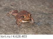 Купить «Молодая обыкновенная серая жаба (Bufo bufo)», эксклюзивное фото № 4628403, снято 12 мая 2013 г. (c) Елена Коромыслова / Фотобанк Лори