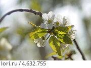 Черешня в цвету. Стоковое фото, фотограф Дина Евсеева / Фотобанк Лори