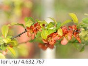 Японская айва. Стоковое фото, фотограф Дина Евсеева / Фотобанк Лори