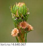Купить «Распускается почка хвойного растения», фото № 4640067, снято 11 мая 2013 г. (c) Дарья Филин / Фотобанк Лори