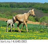 Купить «Лошадь и жеребенок», фото № 4640083, снято 4 мая 2013 г. (c) Эдуард Кислинский / Фотобанк Лори