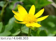 Купить «Лютик весенний, или чистяк (Ranunculus ficaria)», эксклюзивное фото № 4648303, снято 8 мая 2013 г. (c) Елена Коромыслова / Фотобанк Лори