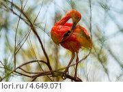 Купить «Красная птица (Eudocimus ruber) сидит на ветке», фото № 4649071, снято 6 апреля 2013 г. (c) Яков Филимонов / Фотобанк Лори