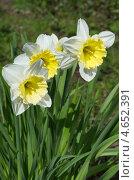 Купить «Белые нарциссы  (Narcissus)», эксклюзивное фото № 4652391, снято 8 мая 2013 г. (c) Елена Коромыслова / Фотобанк Лори