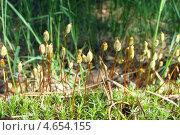 Мох Кукушкины слёзы. Polytrichum commune. Стоковое фото, фотограф Сметанова Наталия / Фотобанк Лори