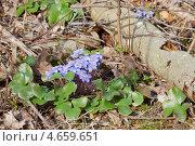 Апрель. В лесу расцвела Печёночница. Стоковое фото, фотограф Raulin / Фотобанк Лори