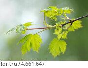 Купить «Цветение клена», фото № 4661647, снято 12 мая 2011 г. (c) Владимир Блинов / Фотобанк Лори