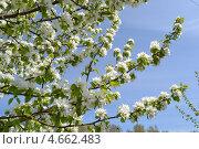 Яблоневый цвет. Стоковое фото, фотограф Артём Вакарин / Фотобанк Лори