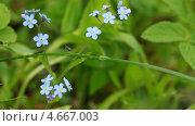 Купить «Голубые незабудки в лесу», видеоролик № 4667003, снято 26 мая 2013 г. (c) EugeneSergeev / Фотобанк Лори
