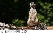 Купить «Встревоженный сурикат», видеоролик № 4668615, снято 21 мая 2013 г. (c) Игорь Жоров / Фотобанк Лори
