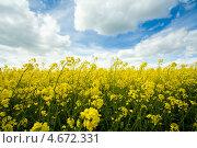 Купить «Рапсовое поле», фото № 4672331, снято 12 мая 2013 г. (c) Morgenstjerne / Фотобанк Лори