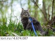 Купить «Серый сибирский кот гуляет на поводке по лесу», фото № 4674087, снято 20 апреля 2013 г. (c) Сурикова Ирина / Фотобанк Лори