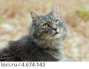 Купить «Серый сибирский кот в лесу», фото № 4674143, снято 4 мая 2013 г. (c) Сурикова Ирина / Фотобанк Лори