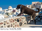 Собака смотрит на городок Ия(Ойя) со смотровой площадки  на острове Тира. Санторини, Греция (2012 год). Стоковое фото, фотограф Галина Вишнякова / Фотобанк Лори