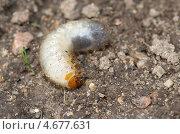 Купить «Личинка золотистой бронзовки (Cetonia aurata)», эксклюзивное фото № 4677631, снято 28 мая 2013 г. (c) Елена Коромыслова / Фотобанк Лори