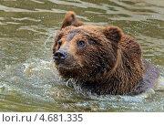 Купить «Бурый медведь в воде, Карпаты», фото № 4681335, снято 25 мая 2013 г. (c) Эдуард Кислинский / Фотобанк Лори