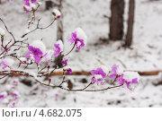Купить «Цветущий багульник в лесу после майского снегопада», фото № 4682075, снято 14 мая 2013 г. (c) Ольга Литвинцева / Фотобанк Лори