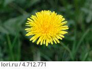 Купить «Желтый одуванчик», фото № 4712771, снято 30 мая 2013 г. (c) Александр Хорхордин / Фотобанк Лори
