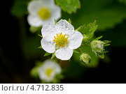 Цветок клубники. Стоковое фото, фотограф Александр Хорхордин / Фотобанк Лори