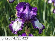 Купить «Темно-фиолетовый бородатый ирис (iris barbatus) в саду после дождя», эксклюзивное фото № 4720423, снято 3 июня 2013 г. (c) Ната Антонова / Фотобанк Лори