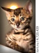Бенгальский котёнок. Стоковое фото, фотограф артем пушин / Фотобанк Лори