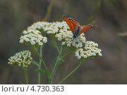 Бабочка голубянка. Стоковое фото, фотограф Дина Евсеева / Фотобанк Лори