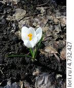 Купить «Крокус белый, шафран (лат. Crocus)», эксклюзивное фото № 4732427, снято 29 апреля 2013 г. (c) lana1501 / Фотобанк Лори