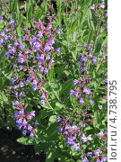 Купить «Шалфей лекарственный (Salvia officinalis)», эксклюзивное фото № 4738795, снято 6 июня 2013 г. (c) Ната Антонова / Фотобанк Лори