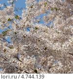 Купить «Белые цветы японской сакуры ( Prunus serrulata ) на фоне голубого неба. (квадрат)», фото № 4744139, снято 24 апреля 2013 г. (c) Ольга Липунова / Фотобанк Лори