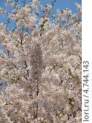 Купить «Нежная белая сакура на фоне голубого неба», фото № 4744143, снято 24 апреля 2013 г. (c) Ольга Липунова / Фотобанк Лори