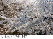 Купить «Ветка сакуры с белыми нежными цветами ( Prunus serrulata ) цветет весной», фото № 4744147, снято 24 апреля 2013 г. (c) Ольга Липунова / Фотобанк Лори