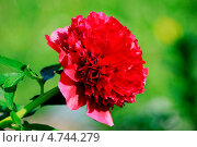 Цветок Пиона крупным планом. Стоковое фото, фотограф Андрей Кушнирук / Фотобанк Лори