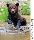 Купить «Маленький бурый медвежонок», фото № 4746091, снято 5 июня 2013 г. (c) Эдуард Кислинский / Фотобанк Лори