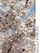 Купить «Ветка с нежными белыми цветами японской сакуры ( Prunus serrulata ) цветет весной», фото № 4746311, снято 13 апреля 2013 г. (c) Ольга Липунова / Фотобанк Лори