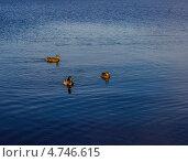 Утки на воде. Стоковое фото, фотограф Сергей Иванов / Фотобанк Лори