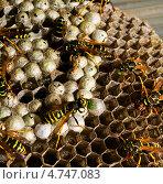 Осы кормят личинок в сотах. Стоковое фото, фотограф Юрий Селиванов / Фотобанк Лори