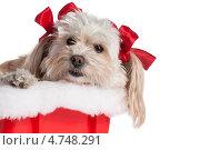 Купить «Декоративная собачка с красными бантиками», фото № 4748291, снято 2 июня 2020 г. (c) Marina Appel / Фотобанк Лори