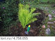 Купить «Молодой папоротник страусник в саду», эксклюзивное фото № 4758055, снято 16 июня 2013 г. (c) Наталья Осипова / Фотобанк Лори