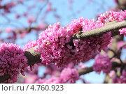 Иудино дерево (Церцис европейский) Стоковое фото, фотограф Александра Полупанова / Фотобанк Лори