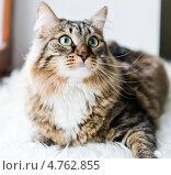 Купить «Кот смотрит вверх», фото № 4762855, снято 20 апреля 2013 г. (c) Валерия Потапова / Фотобанк Лори
