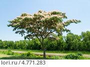 Купить «Цветущее дерево   ленкоранской акации (Albizia julibrissin)», фото № 4771283, снято 15 июня 2013 г. (c) Ирина Кожемякина / Фотобанк Лори