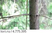Купить «Белка на дереве», видеоролик № 4775395, снято 18 июня 2013 г. (c) Кекяляйнен Андрей / Фотобанк Лори