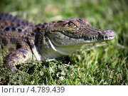 Купить «Крокодил в траве», эксклюзивное фото № 4789439, снято 21 июня 2013 г. (c) Андрей Дегтярёв / Фотобанк Лори