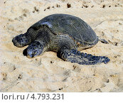 Зеленая морская черепаха. Стоковое фото, фотограф Константин Саночкин / Фотобанк Лори